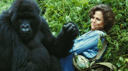 Gorile u magli, 1988.